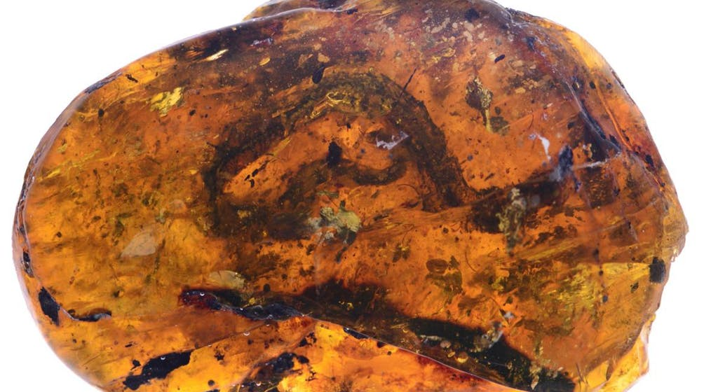 Oldest Fossil of a Baby Snake Discovered Trapped in Amber Tomb